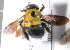 (Xylocopa olivacea - CCDB-22790 A03)  @11 [ ] PCYU (2014) Unspecified York University