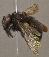 (Xylocopa brasilianorum sonorina - CCDB-22790 F05)  @11 [ ] PCYU (2014) Unspecified York University