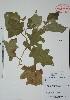 (Solanum torvum - Alvarez3295)  @11 [ ] Unspecified (default): All Rights Reserved  Gerardo Salazar 2010 Unspecified
