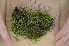 (Brachythecium rutabulum - Robillard_EMPM97_CAN)  @13 [ ] Copyright (2012) Canadian Museum of Nature Canadian Museum of Nature