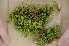 (Brachythecium roteanum - Robillard_EMPM98_CAN)  @13 [ ] Copyright (2012) Canadian Museum of Nature Canadian Museum of Nature