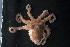 (Octopus cf. bocki - CREEFS 9713)  @14 [ ] Copyright (2009) Julian Finn Museum Victoria