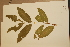 (Phaleria clerodendron - CNS_CC_x02_G9)  @11 [ ] Copyright (2010) Australia Tropical Herbarium CSIRO, Queensland Government and James Cook University