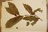 (Phaleria octandra - CNS_CC_x02_F9)  @11 [ ] Copyright (2010) Australia Tropical Herbarium CSIRO, Queensland Government and James Cook University