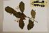 (Brombya - CNS_CC_6075_H3)  @11 [ ] Copyright (2010) Australia Tropical Herbarium CSIRO, Queensland Government and James Cook University
