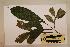 (Harpullia - CNS_CC_M_H1)  @13 [ ] Copyright (2010) Australia Tropical Herbarium CSIRO, Queensland Government and James Cook University