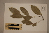 (Siphonodon - CNS_CC_R_C12)  @11 [ ] Copyright (2010) Australia Tropical Herbarium CSIRO, Queensland Government and James Cook University