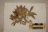 (Denhamia - CNS_CC_R_E12)  @11 [ ] Copyright (2010) Australia Tropical Herbarium CSIRO, Queensland Government and James Cook University