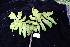 (Davidsonia - CNS_CC_R_D2)  @11 [ ] Copyright (2010) Australian Tropical Herbarium CSIRO, Queensland Government and James Cook University