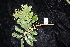 (Diploglottis - CNS_CC_R_B4)  @12 [ ] Copyright (2010) Australian Tropical Herbarium CSIRO, Queensland Government and James Cook University
