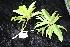 (Xanthostemon - CNS_CC_R_F4)  @11 [ ] Copyright (2010) Australian Tropical Herbarium CSIRO, Queensland Government and James Cook University