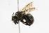(Osmia nigrifrons - CHU05-BEE-002)  @13 [ ] Unspecified (default): All Rights Reserved  Unspecified Unspecified