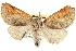 (Clostera inornata - BIOUG02040-G08)  @15 [ ] CreativeCommons - Attribution Non-Commercial Share-Alike (2012) BIO Photography Group Biodiversity Institute of Ontario
