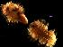 (Malmgreniella - MBI-SCCWRP-00220)  @13 [ ] CreativeCommons - Attribution Non-Commercial (2011) Southern California Coastal Water Research Southern California Coastal Water Research
