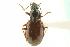 (Bembidion kuprianovii - CNC COLEO 00118116)  @13 [ ] CreativeCommons - Attribution Non-Commercial Share-Alike (2011) CNC/BIO Photography Group Biodiversity Institute of Ontario