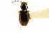 (Bembidion nigrivestis - CNC COLEO 00118335)  @13 [ ] CreativeCommons - Attribution Non-Commercial Share-Alike (2011) CNC/BIO Photography Group Biodiversity Institute of Ontario