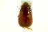 (Phyllophaga gravidula - CNC COLEO 00124231)  @14 [ ] CreativeCommons - Attribution Non-Commercial Share-Alike (2011) CNC/BIO Photography Group Biodiversity Institute of Ontario
