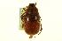 (Phyllophaga elizoria - CNC COLEO 00124298)  @13 [ ] CreativeCommons - Attribution Non-Commercial Share-Alike (2011) CNC/BIO Photography Group Biodiversity Institute of Ontario