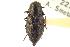 (Melanophila fulvoguttata - CNC COLEO 00099410)  @14 [ ] CreativeCommons - Attribution Non-Commercial Share-Alike (2012) CNC/BIO Photography Group Biodiversity Institute of Ontario
