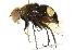 (Eristalis gatesi - CNC DIPTERA 102005)  @15 [ ] CreativeCommons - Attribution Non-Commercial Share-Alike (2011) CNC/BIO Photography Group Biodiversity Institute of Ontario