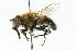 (Eristalis gomojunovae - CNC DIPTERA 102035)  @15 [ ] CreativeCommons - Attribution Non-Commercial Share-Alike (2011) CNC/BIO Photography Group Biodiversity Institute of Ontario