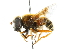 (Eristalis cryptarum - CNC DIPTERA 102056)  @14 [ ] CreativeCommons - Attribution Non-Commercial Share-Alike (2011) CNC/BIO Photography Group Biodiversity Institute of Ontario