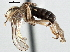 (Pipunculinae - CNC DIPTERA 147617)  @15 [ ] CreativeCommons - Attribution Non-Commercial Share-Alike (2013) BIO Photography Group/CNC Biodiversity Institute of Ontario