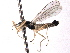  (Hemerodromiinae - CNC DIPTERA 161763)  @11 [ ] CreativeCommons - Attribution Non-Commercial Share-Alike (2012) CNC/BIO Photography Group Biodiversity Institute of Ontario