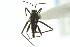 (Veliidae - CNC#HEM302917)  @15 [ ] CreativeCommons - Attribution Non-Commercial Share-Alike (2011) CNC/BIO Photography Group Biodiversity Institute of Ontario