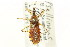 (Pselliopus spinicollis - CNC#HEM303175)  @11 [ ] CreativeCommons - Attribution Non-Commercial Share-Alike (2011) CNC/BIO Photography Group Biodiversity Institute of Ontario