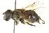 (Eristalis pseudorupium - CNC DIPTERA 162705)  @13 [ ] CreativeCommons - Attribution Non-Commercial Share-Alike (2012) CNC/BIO Photography Group Biodiversity Institute of Ontario