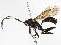 (Ctenopelmatinae - BIOUG03873-B11)  @14 [ ] CreativeCommons - Attribution Non-Commercial Share-Alike (2012) BIO Photography Group Biodiversity Institute of Ontario