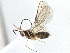 (Alysiinae - BIOUG07606-C03)  @14 [ ] CreativeCommons - Attribution Non-Commercial Share-Alike (2014) BIO Photography Group Biodiversity Institute of Ontario