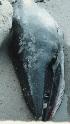 (Balaenoptera acutorostrata - CNP-MM-20)  @11 [ ] Copyright (2012) Enrique A Crespo Marine Mammal Lab- CENPAT-CONICET
