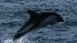 (Lagenorhynchus australis - CNP-MM-03)  @11 [ ] Copyright (2012) Enrique A Crespo Marine Mammal Lab- CENPAT-CONICET
