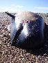( - CNP-MM-62)  @11 [ ] Copyright (2012) Enrique A Crespo Marine Mammal Lab- CENPAT-CONICET