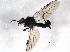 (Bibioninae - BIOUG04101-E05)  @14 [ ] CreativeCommons - Attribution Non-Commercial Share-Alike (2013) BIO Photography Group Biodiversity Institute of Ontario