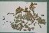 (Scorodophloeus - 6400AA)  @11 [ ] Copyright (2013) Bart Wursten National Botanic Garden Belgium