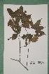 (Chrysophyllum pruniforme - 6513AA)  @11 [ ] Copyright (2013) Bart Wursten National Botanic Garden Belgium