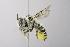 (Megachile manifesta - 14511F02-AZ)  @15 [ ] Unspecified (default): All Rights Reserved  Unspecified Unspecified
