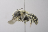  (Anthidium porterae - 14511F06-NM)  @11 [ ] Unspecified (default): All Rights Reserved  Unspecified Unspecified