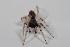 (Trachelopachys - MGM-00143)  @14 [ ] CreativeCommons - Attribution Non-Commercial Share-Alike (2013) Maria Eugenia Gonzalez Marquez Museo Argentino de Ciencias Naturales