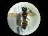 (Crossocerus vagabundus vagabundus - CCDB-06434-A11)  @11 [ ] CreativeCommons - Attribution Non-Commercial Share-Alike (2010) Gergin Blagoev, Biodiversity Intitute of Ontario Biodiversity Institute of Ontario