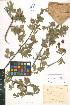 (Crataegus orientalis - LE-Fed-74-1)  @11 [ ] CreativeCommons - Attribution Non-Commercial No Derivatives (2012) Roman Ufimov Komarov Botanical Institute, RAS