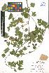 (Crataegus rhipidophylla - LE-GU-11-11)  @11 [ ] CreativeCommons - Attribution Non-Commercial No Derivatives (2012) Roman Ufimov Komarov Botanical Institute, RAS