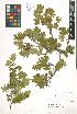 (Crataegus stevenii - LE-GU-11-131)  @11 [ ] CreativeCommons - Attribution Non-Commercial No Derivatives (2012) Roman Ufimov Komarov Botanical Institute, RAS