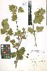 (Crataegus volgensis - LE-Go-10-31)  @11 [ ] CreativeCommons - Attribution Non-Commercial No Derivatives (2012) Roman Ufimov Komarov Botanical Institute, RAS
