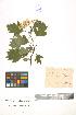 (Crataegus dsungarica - LE-Tzv-00-2)  @11 [ ] CreativeCommons - Attribution Non-Commercial No Derivatives (2012) Roman Ufimov Komarov Botanical Institute, RAS