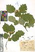 (Crataegus chlorocarpa - LE-Tzv-10-37)  @11 [ ] CreativeCommons - Attribution Non-Commercial No Derivatives (2012) Roman Ufimov Komarov Botanical Institute, RAS