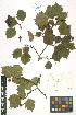 (Crataegus flabellata - LE-Tzv-98-9)  @11 [ ] CreativeCommons - Attribution Non-Commercial No Derivatives (2012) Roman Ufimov Komarov Botanical Institute, RAS